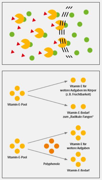 Grafische Darstellung des Sano Polyphenolkomplex