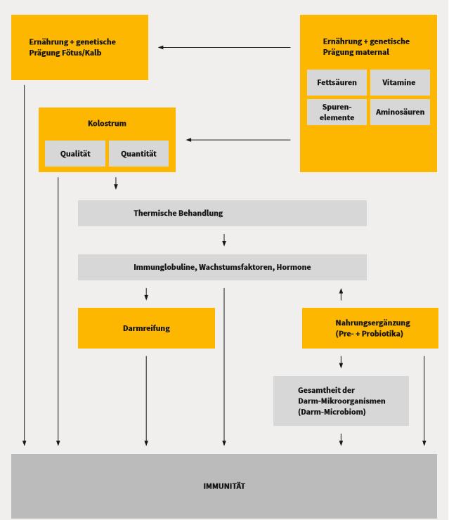 Übersichtsgrafik der Einflussfaktoren auf die Entwicklung der Kälberimmunität, beispielsweise Ernährung, genetische Prägung, Darmreifung oder Kolostrum.