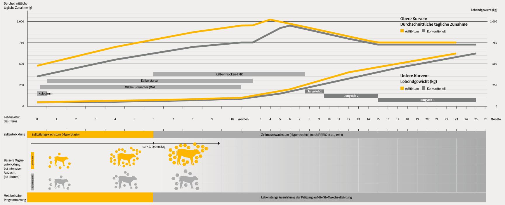 Grafik über Wachtsumsverlauf und Entwicklung des Lebendgewichts von Kälbern inkl. Alter, Zellentwicklung und metabolische Programmierung.