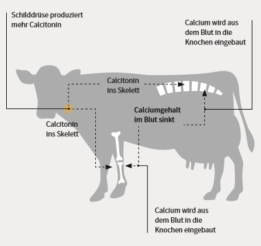 Veranschaulichung Kuh und Calciumgehalt Futter und Blut