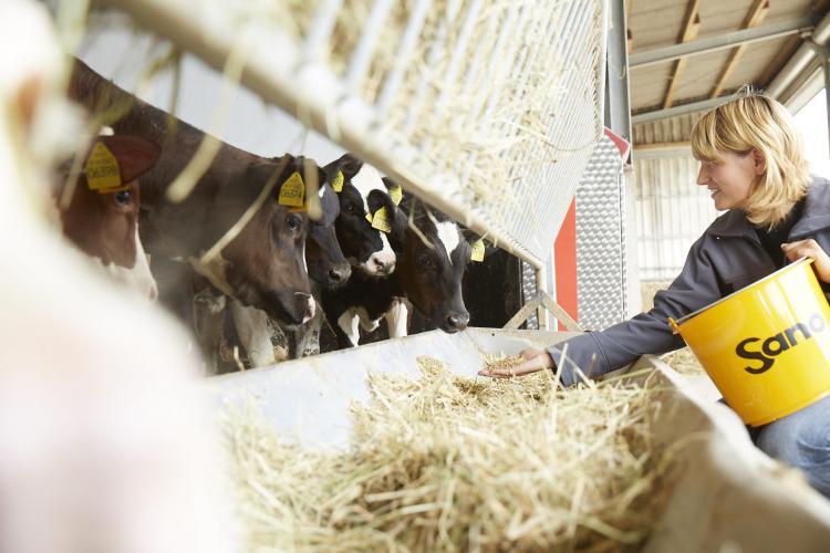 Eine Frau füttert Kühe