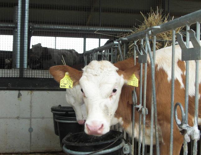 Kalb im Iglu auf einem landwirtschaftlichen Betrieb.