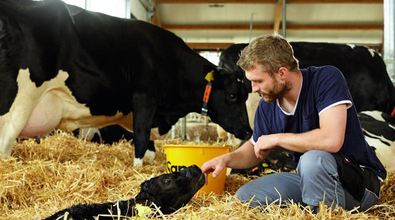 Fruchtbarkeit bei Kühen. Landwirt mit Kuh und Kalb im Abkalbestall.