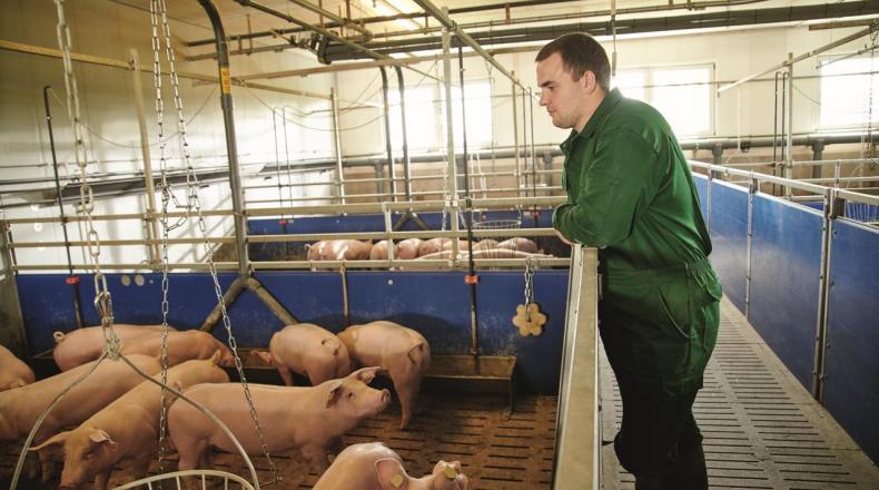 Landwirt im Stall bei Mastschweinen in der Vormast.