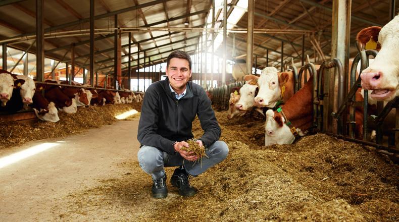 Berufseinsteiger greift hockend im Stall in das Futter am Futtertisch während ihn die Kühe dabei beobachten