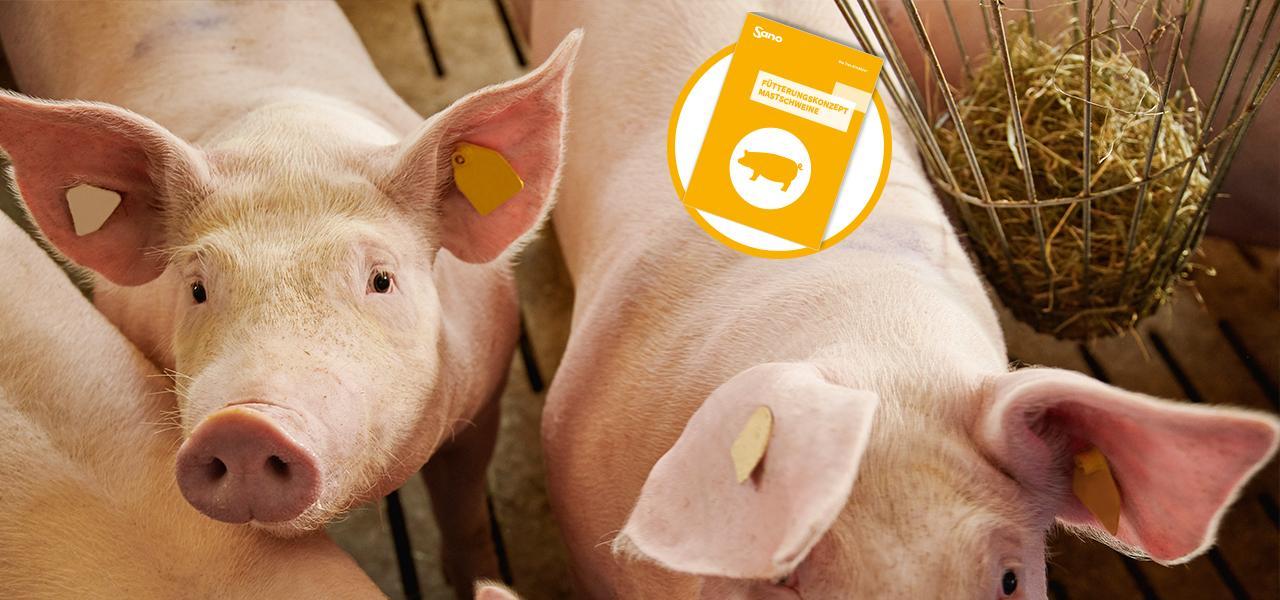 Mastschweine Fütterungskonzept Sano - Schweine im Stall