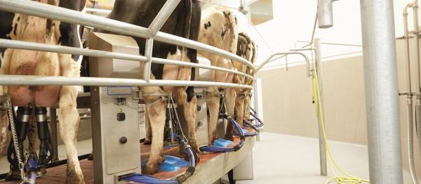 Milchkühe in der Laktation im Melkstand