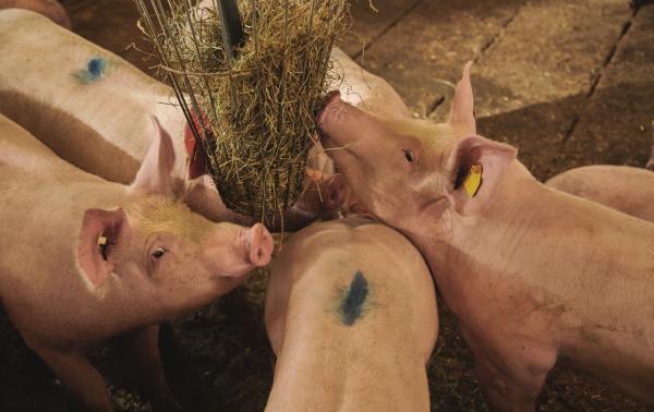 Vier Mastschweine im Stall beim Fressen.