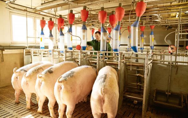 SUSan Multivital Mineralfutter Schwein - Sano; Fünf Schweine im Stall mit Landwirt