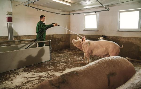 Landwirt der Sau in der Geburtsvorbereitung im Stall reinigt.