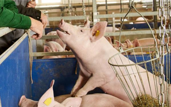 Schweine in Endmastphase im Stall