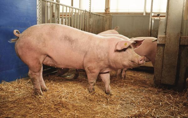 Mastschwein im Stall.