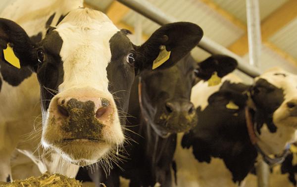 Auf dem Bild sieht man 3 schwarz weiße Kühe im Stall.